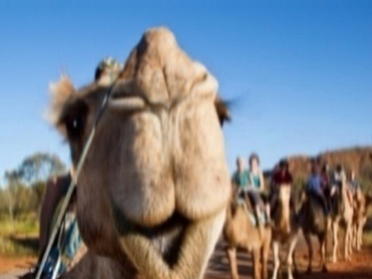 Join Pyndan Camel Tracks in Alice Springs for a relaxing one hour camel ride on our gentle camels led by experienced guides at 12noon or 2:30pm. A camel ride against the backdrop of the beautiful MacDonnell Ranges is a signature Red Centre experience.